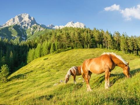 Südtriol, Almwandern, Haflinger