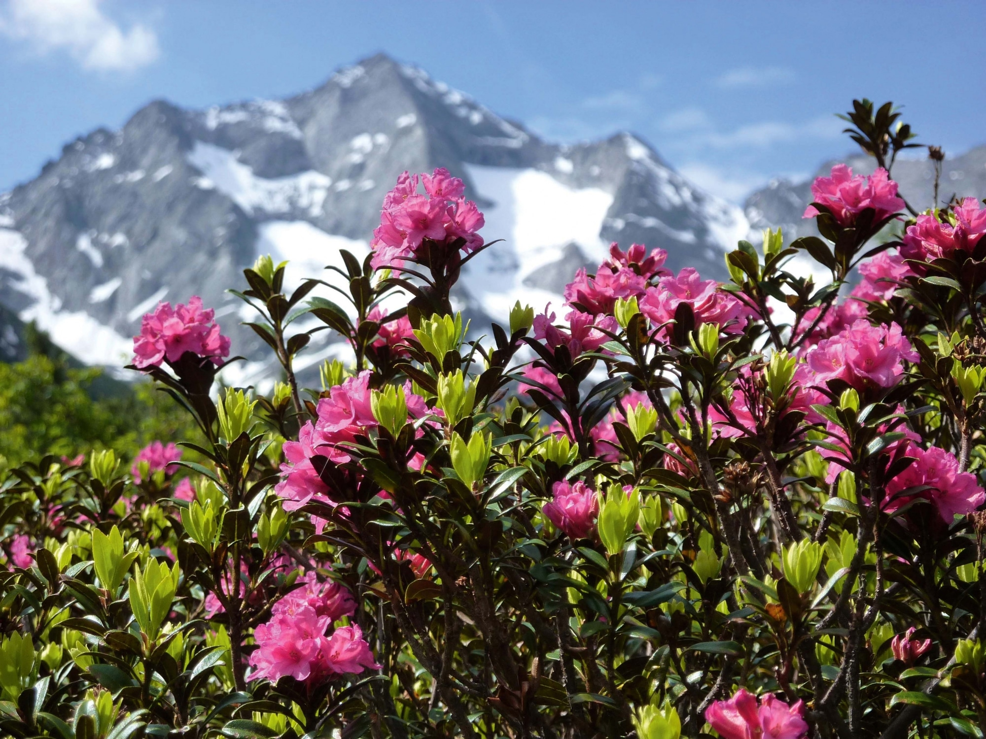 Tirol, Alpenrosenblüte